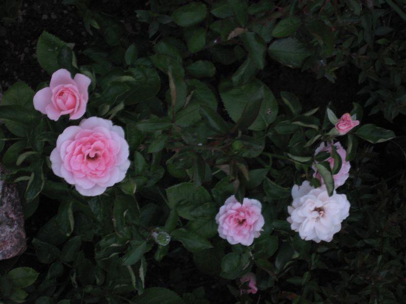 RoseRita1